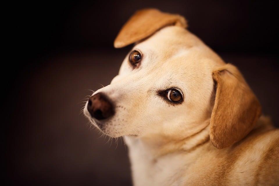 Comment nettoyer l'urine du chien?
